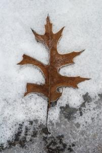 Leaf-In-Snow
